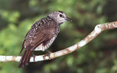 Ptilonorhynchidae (Bowerbirds)