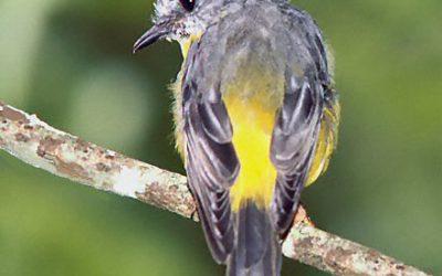 Petroicidae (Robins)