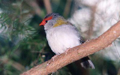 Estrildidae (Finches)