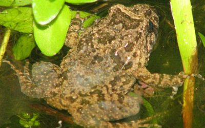 Adelotus brevis (HYLIDAE) Tusked Frog