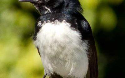 Dicruridae (Fantails)