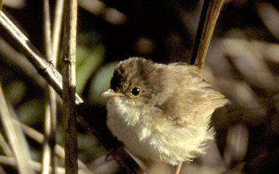 Maluridae (Wrens)