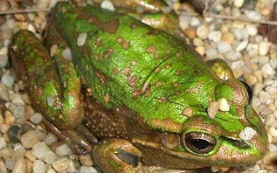 Litoria aurea (HYLIDAE) Green and Golden Bell Frog