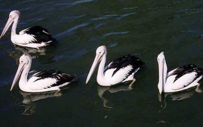 Pelecanidae (Pelicans)