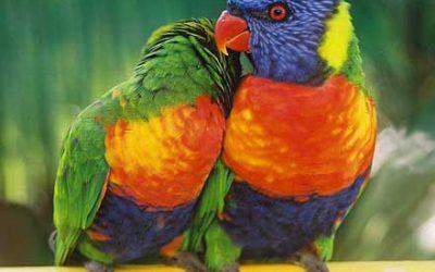 Psittacidae (True parrots)
