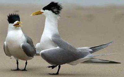 Sternidae (Terns)