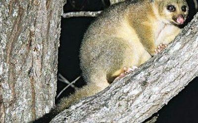 Trichosurus vulpecula – Brush-tailed Possum