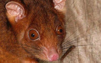 Pseudocheirus peregrinus Common Ringtail Possum.