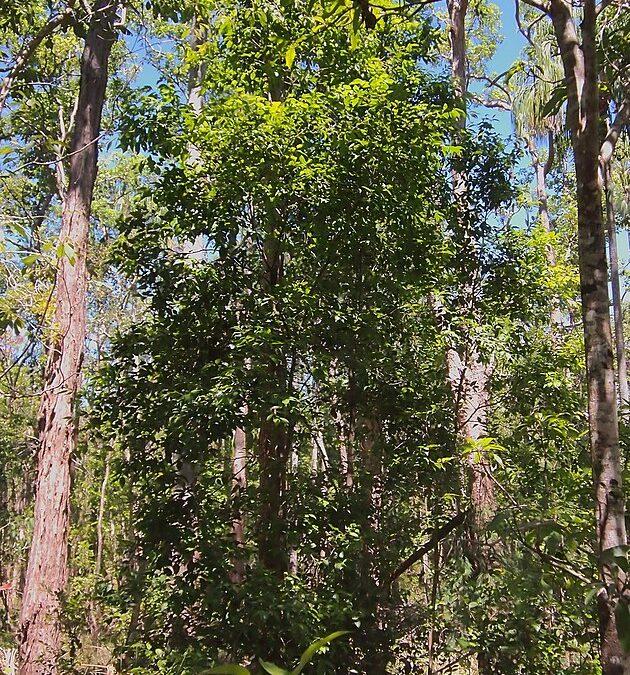 Scolopia braunii (FLACOURTIACEAE) Flintwood