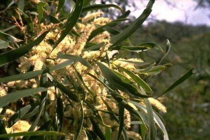 Acacia maidenii (MIMOSACEAE) Maiden's Wattle