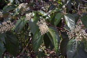 Commersonia bartramia (STERCULIACEA) Brown Currajong, Scrub Christmas