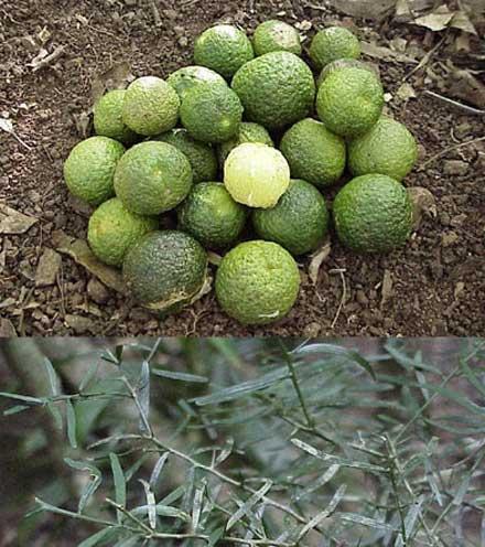 Citrus australis (RUTACEAE) Native Lime, Round Lime