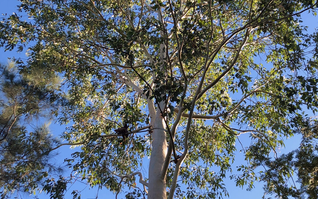 Corymbia henryi (MYRTACEAE) Large-leaved Spotted Gum