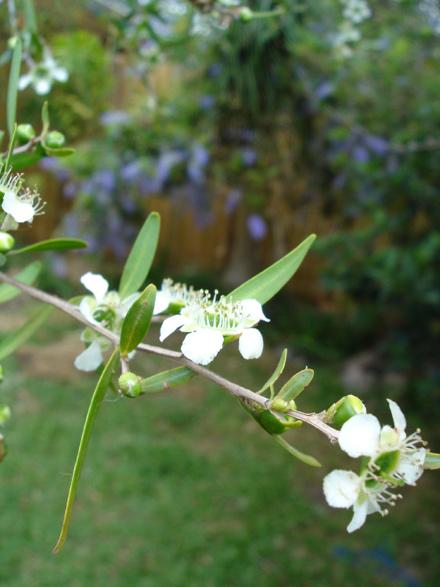 Leptospermum petersonii (MYRTACEAE) Lemon-scented Tea-tree