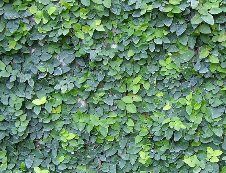 Ficus pumila (MORACEAE) Creeping Fig