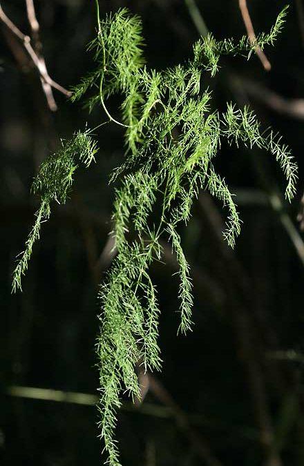 Asparagus africanus (ASPARAGACEAE) Climbing Asparagus Fern