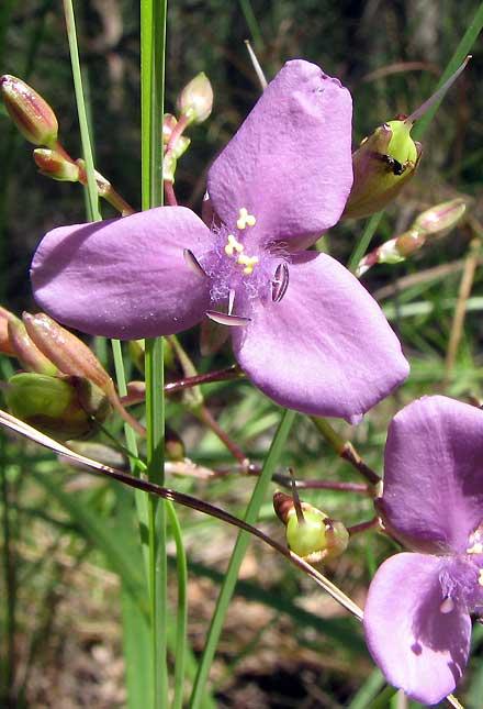 Murdannia graminea (CAMPANULACEAE, COMMELINACEAE) Slug Herb, Blue Murdannia