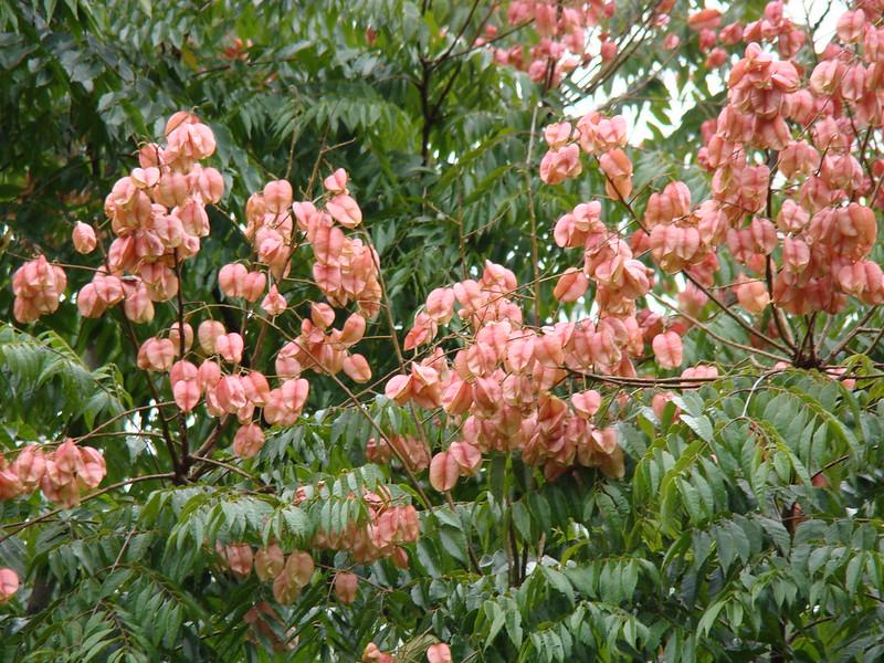 Koelreuteria elegans (SAPINDACEAE) Golden Rain Tree, Chinese Rain Tree
