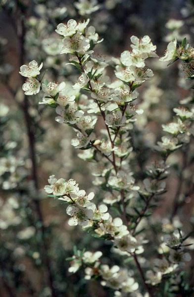 Leptospermum polygalifolium (MYRTACEAE) Wild May