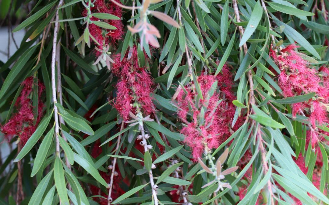Melaleuca viminalis (MYRTACEAE) Weeping Bottlebrush, River Bottlebrush