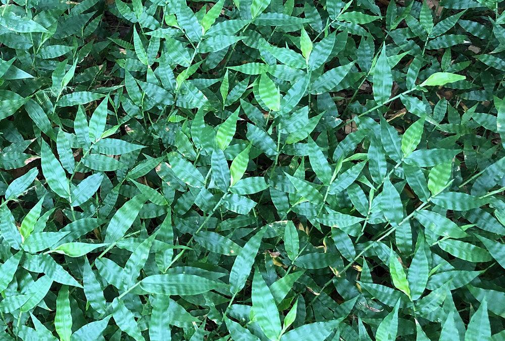 Oplismenus aemulus (POACEAE) Creeping Beard Grass