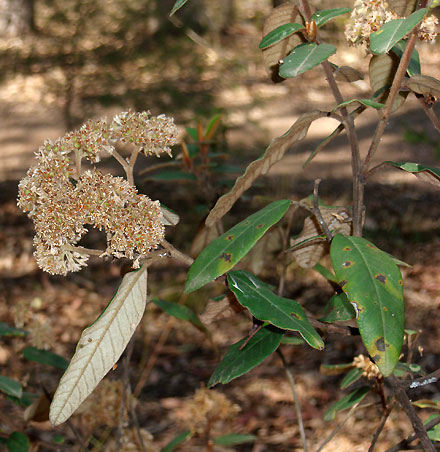 Pomaderris ferruginea (RHAMNACEAE) Pomaderris