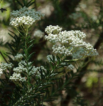Ozothamnus diosmifolius (ASTERACEAE) Sago Flower