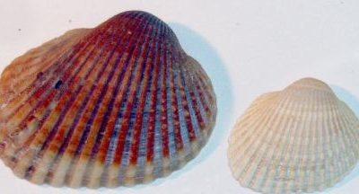 ARCIDAE (Ark Cockles)