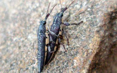 CURCULIONOIDEA Weevils