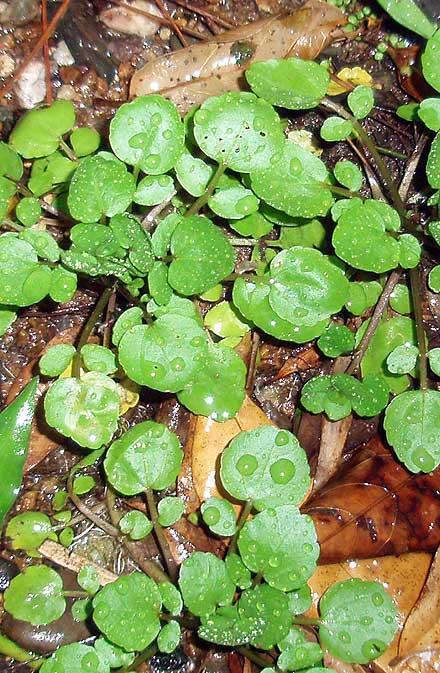 Rorippa nasturtium-aquaticum (BRASSICACEAE) White Watercress