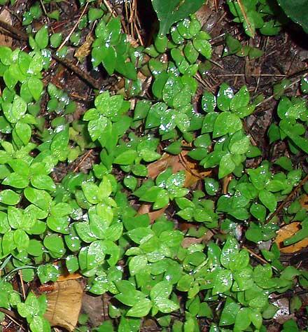 Callisia repens (COMMELINACEAE) Creeping Inch Plant