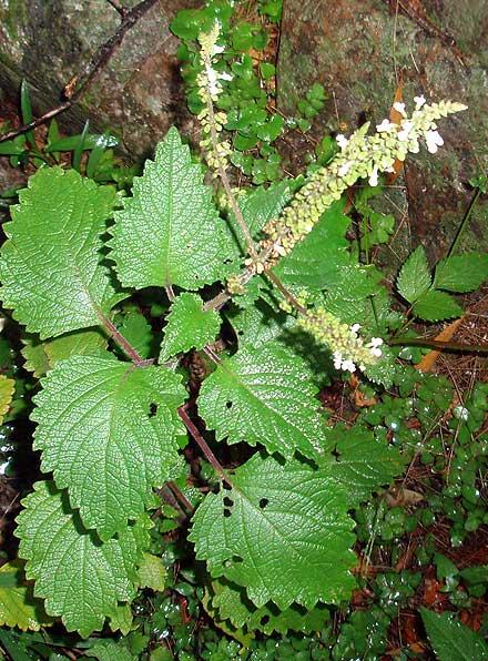 Plectranthus sp (LAMIACEAE) could be Plectranthus ciliatus