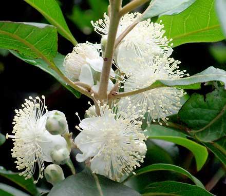 Rhodomyrtus psidioides (MYRTACEAE) Native Guava