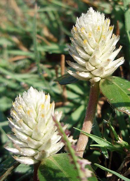 Gomphrena celosioides (AMARANTHACEAE) Gomphrena Weed