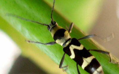 CERAMBYCIDAE Longicorn Beetles