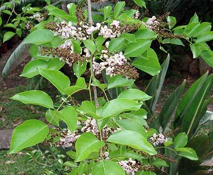 Millettia pinnata (FABACEAE) Indian Beech, Pongamia, Pongame