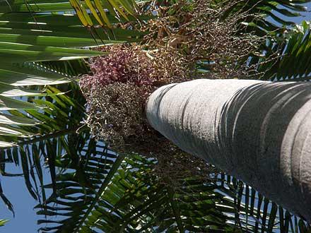 Archontophoenix cunninghamiana (ARECACEAE) Bangalow Palm, Piccabeen Palm