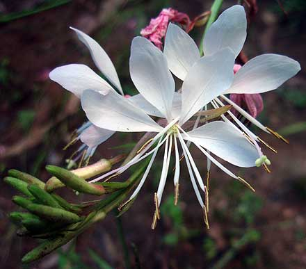 Gaura lindheimeri (ONAGRACEAE) Butterfly Bush, Clockweed