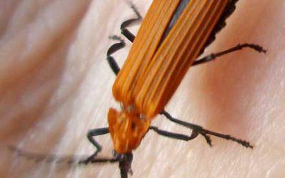 LYCIDAE Lycid Beetles