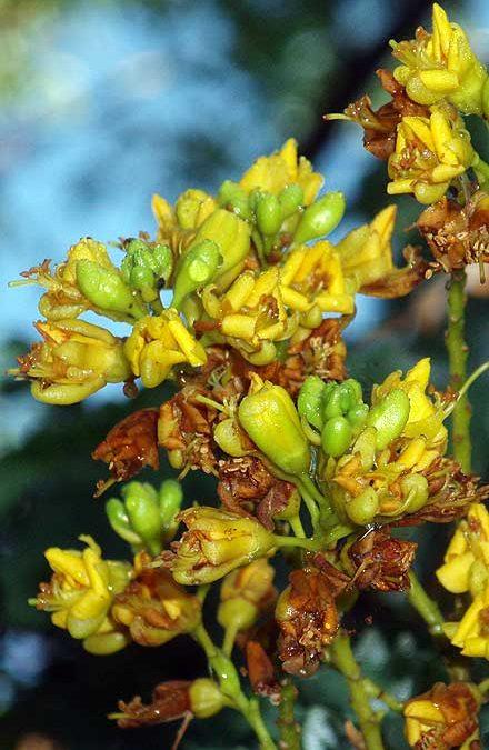 Caesalpinia ferrea (CAESALPINACEAE) Leopard Tree