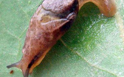 Peloparion iridis HELICARIONIDAE Iridescent Semi-slug