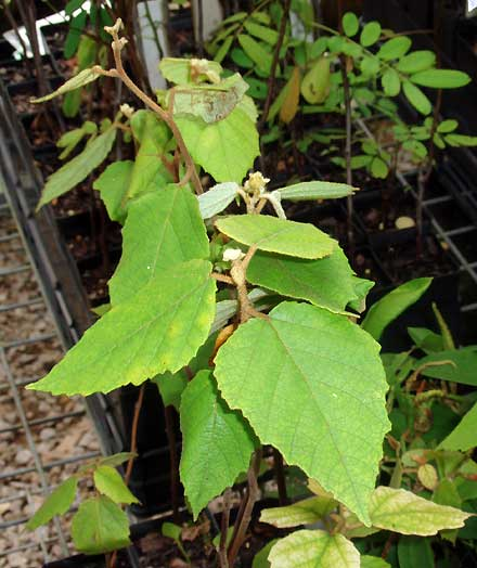 Seringia arborescens (MALVACEAE) Seringia