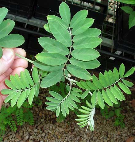 Tephrosia rufula (FABACEAE) Tephrosia