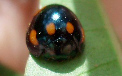 COCCINELLIDAE Lady Beetles