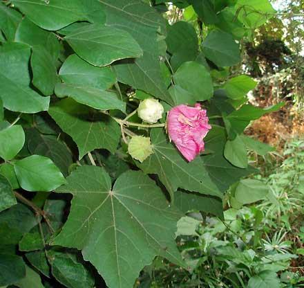 Hibiscus mutabilis (MALVACEAE) Cotton Rose, Confederate Rose, Cotton Rosemallow