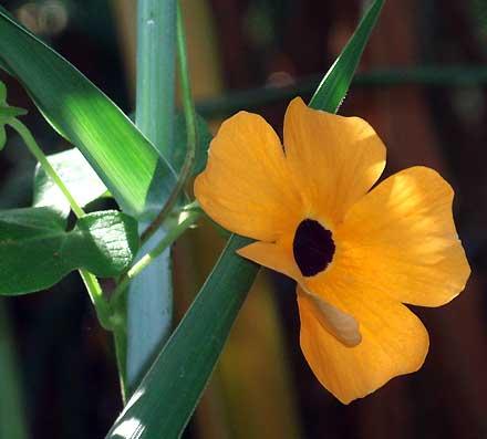 Thunbergia alata (ACANTHACEAE) Black-eyed Susan