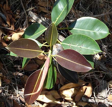 Ficus elastica (MORACEAE) Rubber Tree