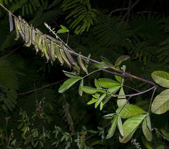 Crotalaria pallida var. obovata FABACEAE Streaked rattlepod