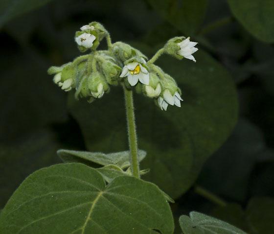 Solanum abutiloides (SOLANACEAE) White Tobacco