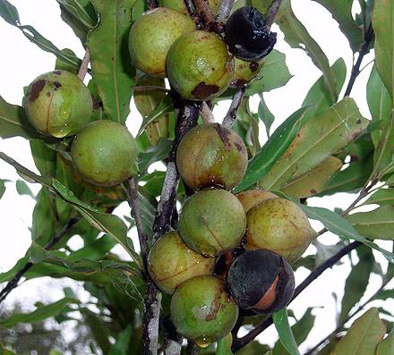 Macadamia integrifolia (PROTACEAE) Queensland Nut, Bopple Nut